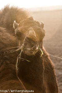 dromedario,retrato de dromedario, Archerphoto, fotógrafo en la Albufera