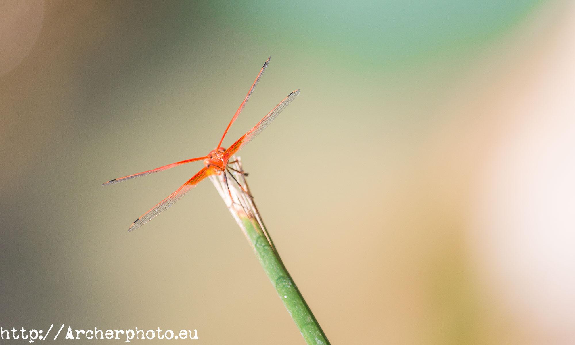 Libélula naranja, Libellula saturata por Archerphoto, fotógrafo profesional